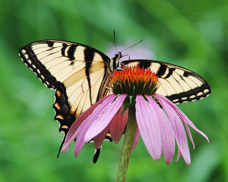Sallow Tail on Cone Flower